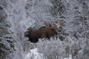 hirvi metsässä